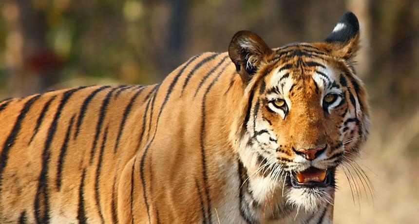 Tigerekonomi