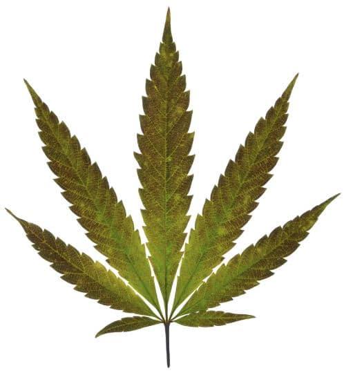 cannabisaktier
